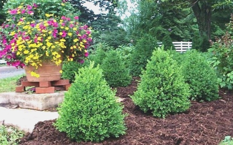 Green Mountain Boxwood - Buxus microphylla 'Green Mountain' Photo 1