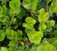 Wintergreen Boxwood - Buxus sinica var. insularis 'Wintergreen'