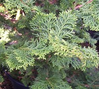 Shop Slender Hinoki Cypress - 1 Gallon
