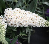 Buzz Ivory Dwarf Butterfly Bush