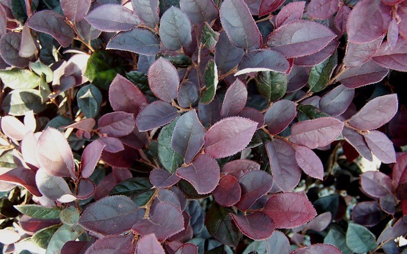 Plum Delight Loropetalum Photo 3