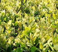 Golden Ligustrum - Ligustrum japonicum 'Howardii'