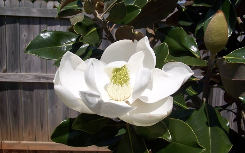 Bracken's Brown Beauty Magnolia Photo 2