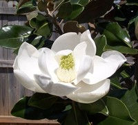 Shop Bracken's Brown Beauty Magnolia - 3 Gallon
