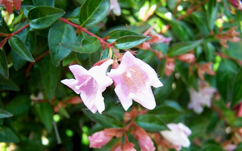 Edward Goucher Abelia - Abelia grandiflora 'Ed Goucher' Photo 2