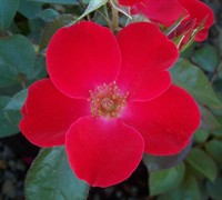 Home Run Red Rose - Rosa 'Home Run'