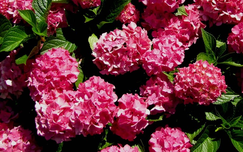 Forever and Ever Red Hydrangea - Hydrangea macrophylla 'Forever And Ever Red' - 1 Gallon - Flowering Shrubs | ToGoGarden