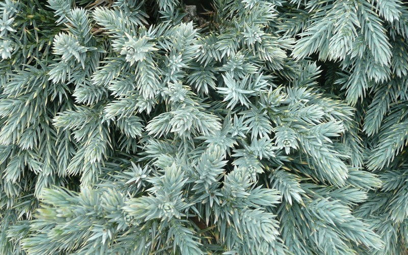 Blue Star Juniper Photo 2