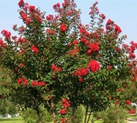 Shop Red Rocket Crape Myrtle - 3 Gallon