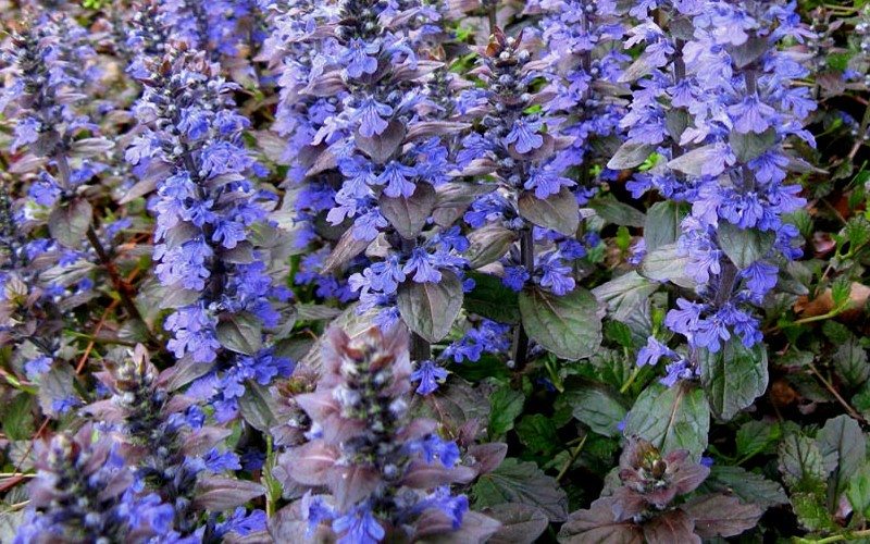 "Ajuga Bronze Beauty Bugleweed - 18 Count Flat of 3.5"" Pots - Buy Plants 