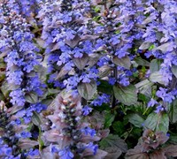"Shop Ajuga Bronze Beauty Bugleweed - 10 Count Flat of 4"" Pots"