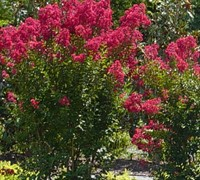 Red Rocket Crape Myrtle - Lagerstroemia indica 'Red Rocket'