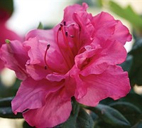 Autumn Rouge™ Encore® Azalea