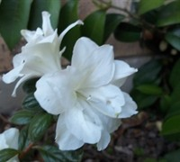 Autumn Moonlight Encore Azalea