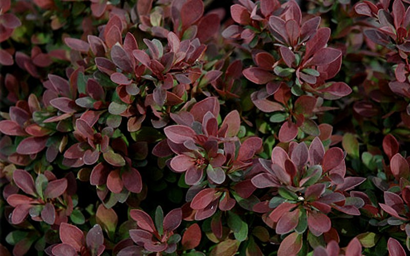 Royal Burgundy Barberry - Berberis thunbergii 'Gentry' - 1 Gallon - Barberry Shrubs | ToGoGarden