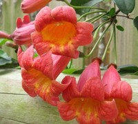 Tangerine Beauty Crossvine - Bignonia