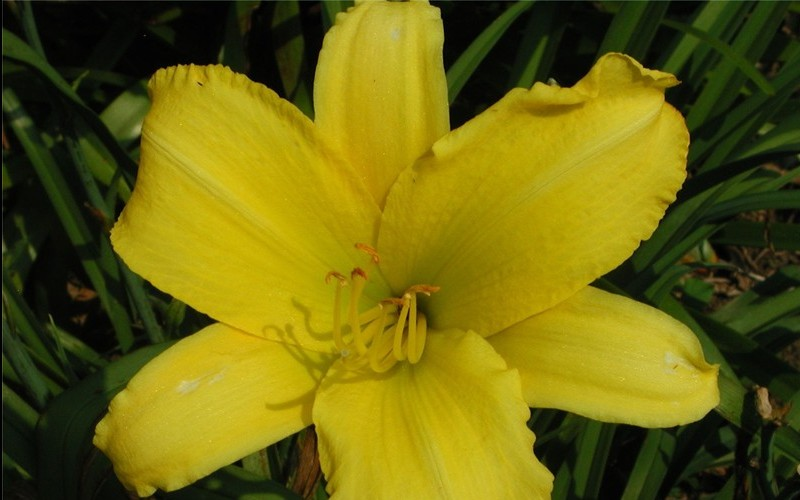 Hemerocallis Happy Returns Daylily - 1 Gallon - Hemerocallis - Daylily | ToGoGarden