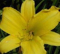 Hemerocallis 'Happy Returns' - Daylily