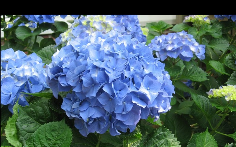 Glory Blue Hydrangea Photo 2