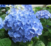 Shop Glory Blue Hydrangea - 1 Gallon