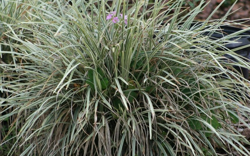 Aztec Grass - 2.5 Quart - Liriope Grass | ToGoGarden
