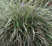Shop Aztec Grass - 2.5 Quart