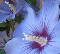 Blue Satin Hibsicus Rose of Sharon - Hibiscus syriacus 'Blue Satin'