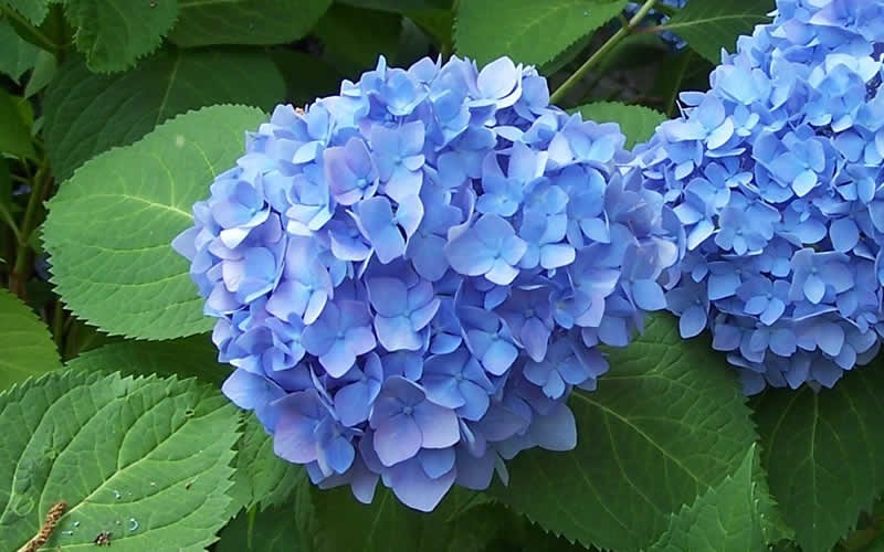 Image result for blue hydrangea