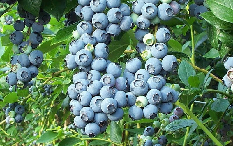 Tifblue Rabbiteye Blueberry - 1 Gallon - Blueberry Bushes - Rabbiteye | ToGoGarden