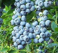 Tifblue Rabbiteye Blueberry - Vaccinum ashei 'Tifblue'