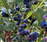 Shop Woodard Blueberry Shrub - 2.5 Quart