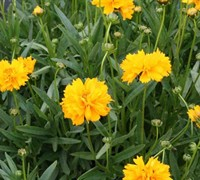 Shop Early Sunrise Coreopsis - 1 Gallon