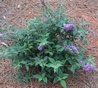 Lo & Behold Blue Chip Butterfly Bush
