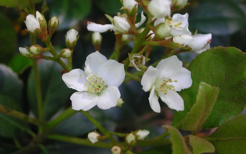Indian Hawthorn Spring Sonata - 2 Gallon - Perennial Plants | ToGoGarden