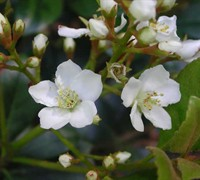 Indian Hawthorn Spring Sonata