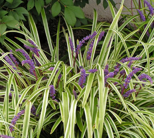 Variegated Liriope - 3 Gallon - Deer Resistant Groundcover Plants | ToGoGarden
