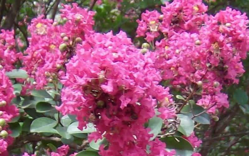 Ruby Dazzle Dwarf Crape Myrtle Photo 1