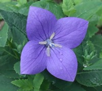 Miss Tilly Blue Dwarf Balloon Flower