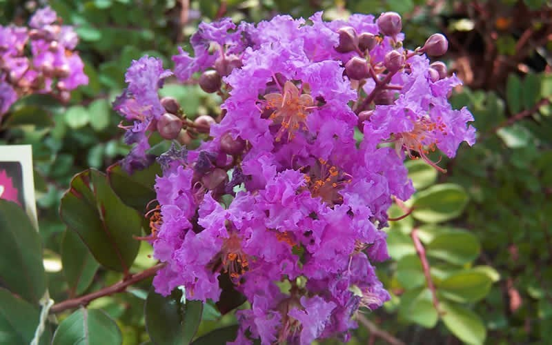 Early Bird Purple Crape Myrtle - 2 Gallon - Shrubs for Summer Color | ToGoGarden