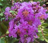 Early Bird Purple Crape Myrtle