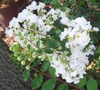 Shop Early Bird White Crape Myrtle - 2 Gallon