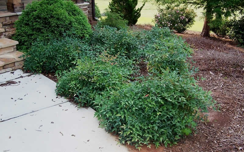"Harbor Belleâ""¢ Dwarf Nandina - 1 Gallon Pot - Nandina Shrubs 