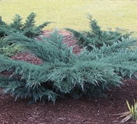 Grey Owl Juniper - Juniperus virginiana 'Grey Owl'