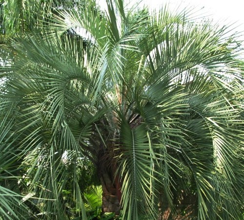 Pindo Palm / Jelly Palm - Butia capitata - 3 Gallon - Evergreen Trees | ToGoGarden
