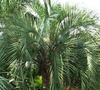 Pindo Palm / Jelly Palm - Butia capitata