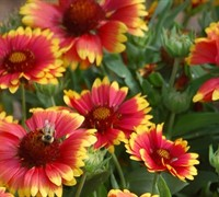 Shop Gaillardia aristata Arizona Sun Blanket Flower  - 1 Gallon