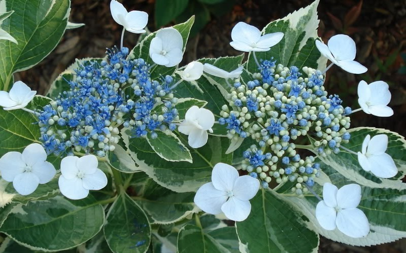 Variegated Lacecap Hydrangea - Hydrangea macrophylla 'Mariesii' - 1 Gallon - Flowering Shrubs | ToGoGarden