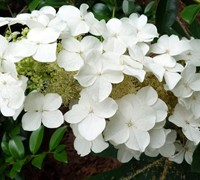 Shop Semmes Beauty Oakleaf Hydrangea - 3 Gallon