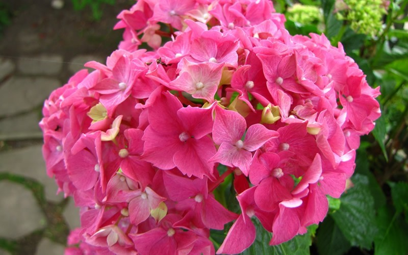 Merritts Supreme Hydrangea Photo 1