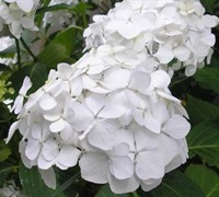 Shop White Wedding Hydrangea - 2 Gallon